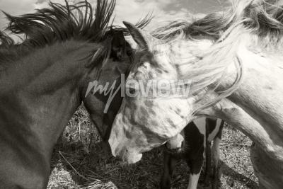 Carta da parati Due cavalli saluto a vicenda