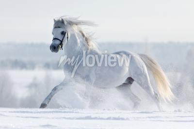 Carta da parati Biały koń galopuje w polu w zimie