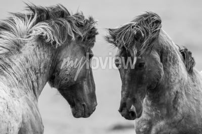 Carta da parati Due cavalli scherzosamente lotta insieme