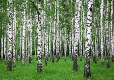 Carta da parati Foresta di betulle di estate