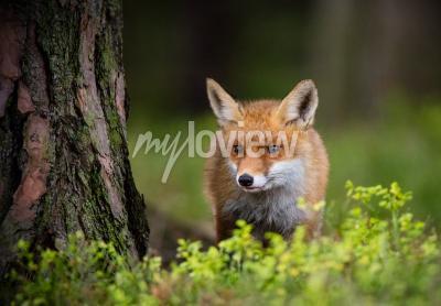 Carta da parati Caccia di Fox nella foresta dell'Europa